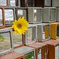 Single Flower by Joel Rood