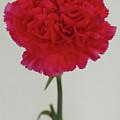Single Flower by Paul Jarrett