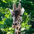 Single Giraffe by Jennifer Wick
