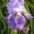 Single Iris In Bloom by George Ferrell