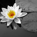 Single Lily by Shari Jardina
