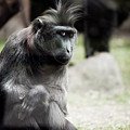 Single Macaque Monkey Sitting by Arletta Cwalina