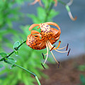 Single Orange And Black Tiger Lily by Wendell Clendennen