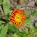Single Orange Wild Flower by Alice Markham