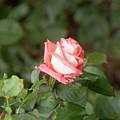 Single Pink Rose by Adam Gladstone