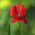 Single Poppy On Green Background by Jill Mitchell