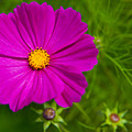 Single Purple Cosmos Flower by Helen Northcott