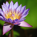 Single Purple Water Lily Number One by Heather Kirk