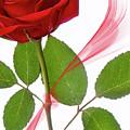 Single Red Rose by Jacky Parker