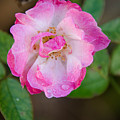 Single Rose 2 by Andrea Anderegg