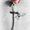 Single Rose Stem Taped On White Background  by Di Kerpan