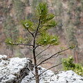 Single Snowy Pine by Dakota Light Photography By Dakota