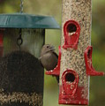 Single Songbird At Feeder by Wilbur G Smith