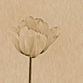 Single Tulip by Tonya P Smith