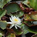 Single Water Lilly  by Michael Thomas