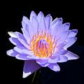 Single Water Lily by Pamela Walton