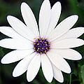 Single White Daisy Macro by Georgiana Romanovna