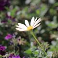 Single White Daisy On Purple by Colleen Cornelius