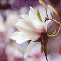 Single White Magnolia by Jordan Blackstone