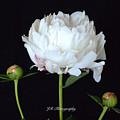 Single White Peony by Jeannie Rhode