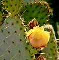 Single Yellow Cactus Bloom 050715a by Edward Dobosh