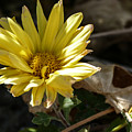 Single Yellow Mum by Laurel Powell