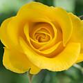 Single Yellow Rose by Robert VanDerWal