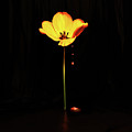 Single Yellow Tulip On Black Background by Ludmila SHUMILOVA