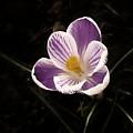 Singular Purple Passion by Regina Arnold