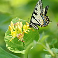 Sipping Swallowtail by Crystal Massop