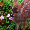 Sitka Black-tailed Fawn by Dan McIntyre