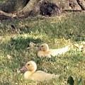 Sitting Ducks by Angelina Tamez