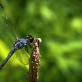 Sitting Pretty 2 Dragonfly Art by Reid Callaway