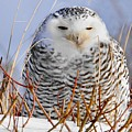 Sitting Snowy Owl by J R Sanders