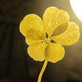 Six Leaf Clover In Studio 2 by Julia Jacquez