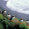 Six Puffins Perched On A Rock by Sami Sarkis