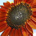 Sizzling Hot Sun Flower by Deborah Benoit