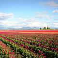 Skagit Valley Tulip Fields by Carol Groenen