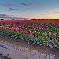 Skagit Valley Tulip Reflections by Mike Reid