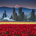 Skagit Valley Tulips-mt. Baker by Jon Reiswig