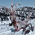 Skating Pine by Mae Wertz