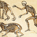 Skeletons Of Man, Ape, Bear, 1860 by Wellcome Images
