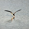 Skimmer Skimming by Al Powell Photography USA