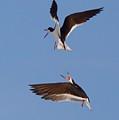 Skimmers In Flight by John Kearns
