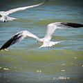 Skimmers In Flight by Marilee Noland