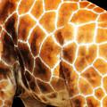 Skin Deep - Buy Giraffe Art Prints by Sharon Cummings