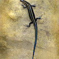 Skink by Kathy Russell