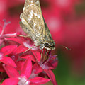 Skipper Butterfly by Betty LaRue