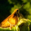 Skipper Butterfly With Sun Shine by Debra Lynch