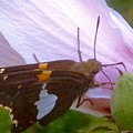 Skipper Butterfly With White And Orange Colors by Debra Lynch